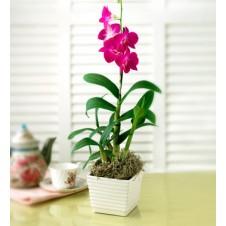 Dendrodium Orchid