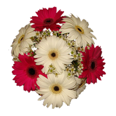 12 Red and White Gerberas in a Bouquet