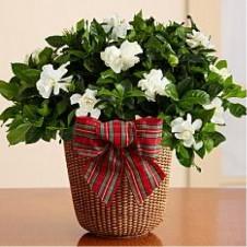 Potted Fragrant Gardenia