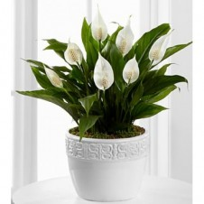 Calming Grace Peace Lily Plant