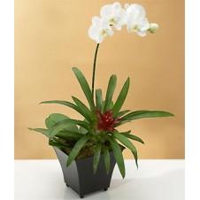 White Dendrobium Orchid Plant