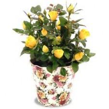 A Velvety Mini Rose in a Pot