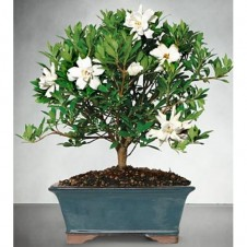 Blossoming Abundance Gardenia