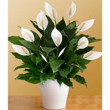 Deluxe Lush Tropical Evergreen Lily