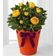 Celebration Starter Birthday Moni Rose Plant