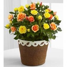 Bi-Color Mini Roses