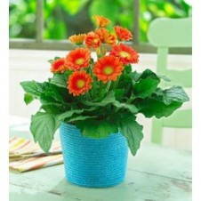 1 Dozen Orange Gerbera in a Vase