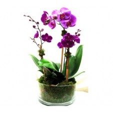 Phalaenopsis Orchid Plant in a Vase